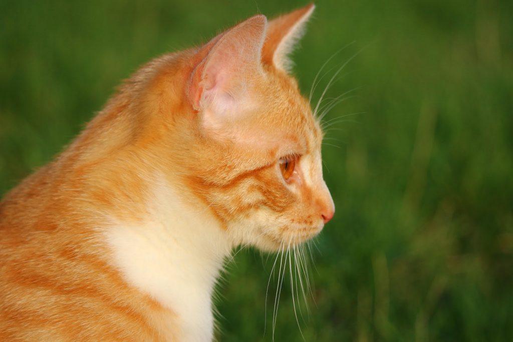 Mơ thấy mèo vàng nên đánh con gì và là điềm báo gì?
