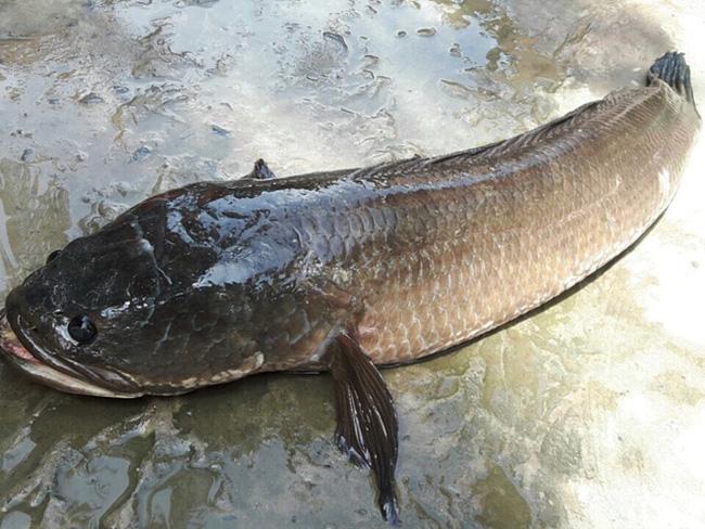 Mơ thấy cá lóc chết là điềm lành hay xấu?