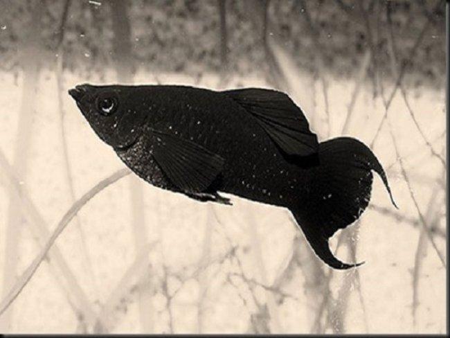 Mơ thấy cá màu đen có ý nghĩa gì?