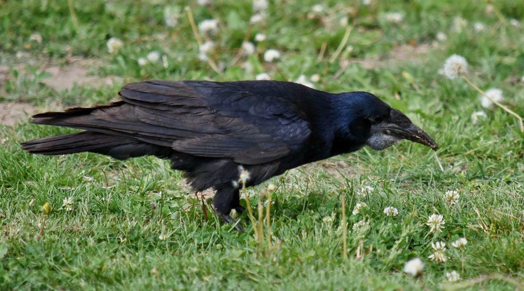 Mơ thấy chim màu đen là điềm báo gì trong tương lai?